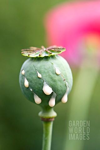 Gdf751 Papaver Somniferum Opium Poppy With Cut Asset