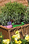 BASKET WITH LAVANDULA HIDCOTE AND GOLDEN THYME