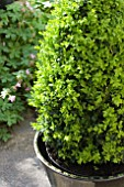 BUXUS SEMPERVIRENS, BOX, IN CONTAINER
