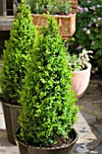 BUXUS SEMPERVIRENS, BOX IN CONTAINER