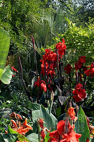 CANNA_ASSAUT_IN_TROPICAL_BORDER_WITH_MUSA_AND_PALM_TO_REAR