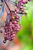 SAMBUCUS BLACK LACE FRUIT IN SEPTEMBER