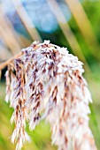 WINTER FROST ON MISCANTHUS SEED HEAD