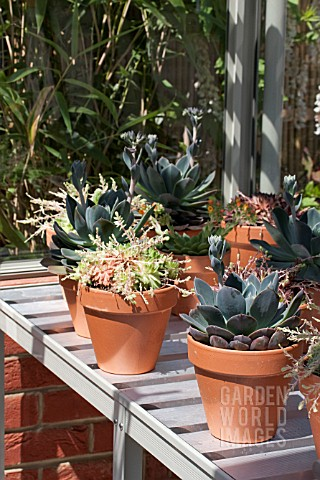 SUCCULENTS_IN_POTS_IN_GREENHOUSE