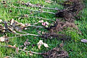 FAGUS SYLVATICA -BEECH WHIPS FOR HEDGING.  RETAINS LEAVES IN WINTER FOR A GOOD SCREEN AND ALTERNATIVE TO AN EVERGREEN HEDGE.  PREPARING BARE ROOT WHIPS PRIOR TO PLANTING