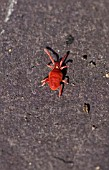TROBIDIUM SP (RED VELVET MITE) GARDEN FRIEND FEEDS ON PESTS INCLUDING APHIDS