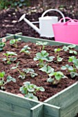 MAKING AND PLANTING STRAWBERRY BEDS  MIXED VARIETIES