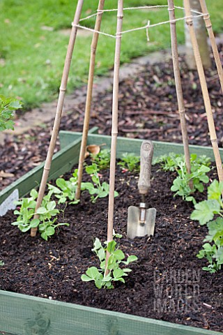 how to support peas when growing