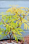 SAMBUCUS WELSH GOLD
