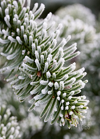 ABIES_PROCERA_NOBLE_FIR_THE_CHRISTMAS_TREE_FARM_HAWKWELL