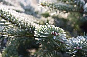 ABIES NORDMANNIANA (NORDMAN FIR)THE CHRISTMAS TREE FARM, HAWKWELL