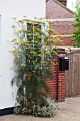 FOENICULUM VULGARE-FENNEL WITH PAINTED SAGE GROWING OUTSIDE A HOUSE.  ATTRACTIVE TO INSECTS