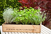 MIXED HERB WINE BOX PLANTED WITH HERBS INCLUDING PARSLEY,MINT, LAVENDER THYME AND SANTOLINA