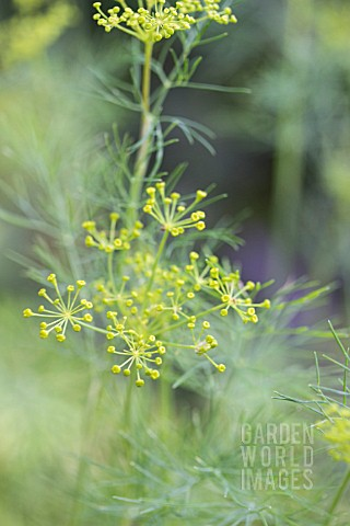 ANETHUM_GRAVEOLENS_DILL