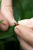 Removing a Lily Beetle, (Lilioceris lilii)