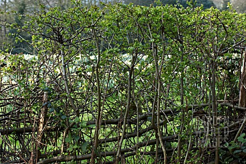 TRADITIONAL_HEDGE_LAYERING_CRATAEGUS_MONOGYNA_HAWTHORN_SHOWING_UPRIGHT_GROWTH_