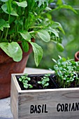 OCIMUM BASILICUM,  BASIL SEEDLINGS GROWING