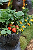STRAWBERRY PLANTS IN DECORATIVE CONTAINER