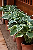 HOSTAS IN CONTAINERS