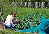 GERRY BULL ON HER ALLOTMENT, NETTING USED TO FORM PROTECTIVE CLOCHE FOR BRASSICA