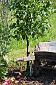 DWARF PARK FARM PIPPIN DESSERT APPLE TREE