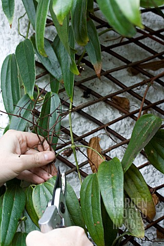 PRUNING_EARLY_FLOWERING_CLEMATIS_ARMANDII_SNOWDRIFT