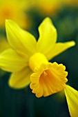 NARCISSUS PEEPING TOM