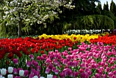FIELD OF RED, YELLOW, PINK, PURPLE AND WHITE SINGLE EARLY TULIPS UNDER APPLE TREE IN BLOSSOM