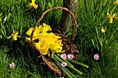 DUTCH MASTER DAFFODILS IN BASKET WITH PRUNUS BLOSSOM, APRIL.