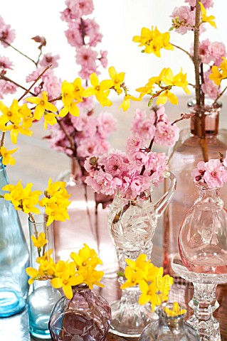 BRANCHES_OF_FORSYTHIA_AND_BLIREIANA_PLUM_BLOSSOMS_IN_GLASS_VASES_ON_TABLE