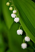 CONVALLARIA MAJALIS, LILY OF THE VALLEY