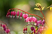 DICENTRA SPECTABILIS GOLD HEART