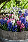 HYACINTHUS ORIENTALIS PINK PEARL, BLUE JACKET AND CARNEGIE, DUTCH OR COMMON HYACINTH, PLANTED IN BARREL