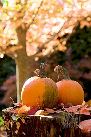 CUCURBITA_PEPO_SUGAR_PUMPKINS_IN_AUTUMN__