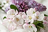 BLOSSOMS OF MALUS AND SYRINGA VULGARIS  IN SPRING