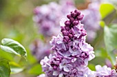 SYRINGA VULGARIS KATHERINE HAVEMEYER