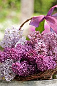 SYRINGA VULGARIS, COMMON LILAC, IN BASKET