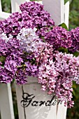 SYRINGA VULGARIS, COMMON LILAC, IN WHITE BUCKET ON WHITE PICKET FENCE