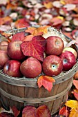APPLES IN BASKET WITH AUTUMN LEAVES