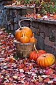 CUCURBITA PEPO ROUGE VIF DETAMPE,   CINDERELLA, HOWDEN, SUGAR PIE, PUMPKINS IN AUTUMN DISPLAY