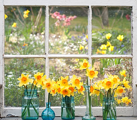 NARCISSUS_AMBERGATE_IN_JARS_