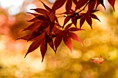 ACER PALMATUM OGON SARASA, LEAVES IN AUTUMN