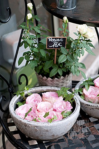 ROSES_IN_PARIS_FLOWER_MARKET