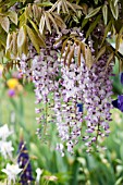 WISTERIA SINENSIS IN GARDEN WITH IRIS