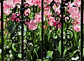 FRINGED TULIPS SEEN THROUGH ORNATE IRON GARDEN GATE IN SPRING.