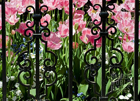 FRINGED_TULIPS_SEEN_THROUGH_ORNATE_IRON_GARDEN_GATE_IN_SPRING