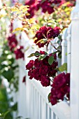 ROSES IN COTTAGE GARDEN AND WHITE PICKET FENCE
