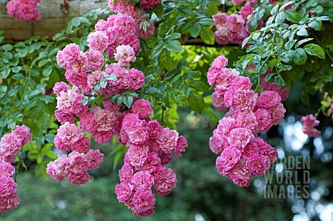 ggl2131 rosa 39 super fairy 39 rambling rose on garden. Black Bedroom Furniture Sets. Home Design Ideas
