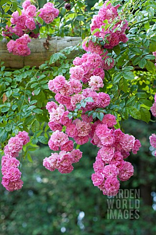 ROSA_SUPER_FAIRY_RAMBLING_ROSE_ON_GARDEN_ARCH