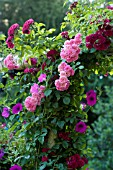 ROSA SUPER FAIRY, RAMBLING ROSE ON GARDEN ARCH